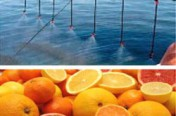 OIL SPILL DISPERSANT NATURAL CITRUS
